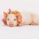 财富超越张一鸣、雷军,河南新首富只用了一招:养猪